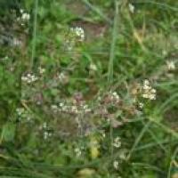 Plantas medicinales para hemorragias - Bolsa de Pastor