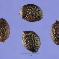Propiedades de la Passiflora