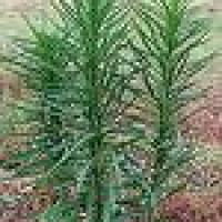 Propiedades de la cola de caballo - Equisetum arvense