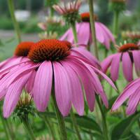 Plantas medicinales para faringitis - Echinacea