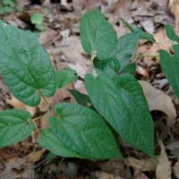 Plantas aritoloquiáceas - Serpentaria de Virginia
